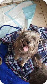 Schnauzer (Miniature)/Terrier (Unknown Type, Small) Mix Dog for adoption in Brownsville, Texas - Jasper