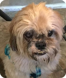 Shih Tzu/Pekingese Mix Dog for adoption in Oakland, Florida - Ewok