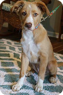 Golden Retriever/Labrador Retriever Mix Puppy for adoption in Bedminster, New Jersey - Baby Girl