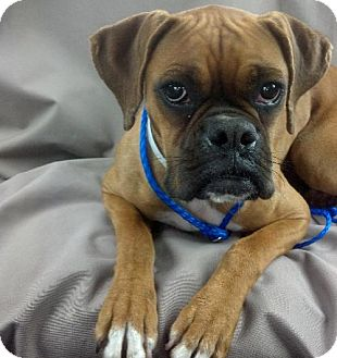Boxer Dog for adoption in Houston, Texas - PICKLE