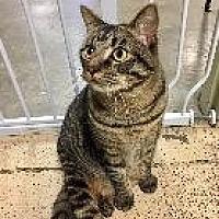 Domestic Shorthair Cat for adoption in Little Rock, Arkansas - ERIK