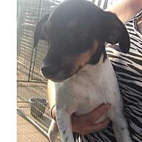 Adopt A Pet :: Sweet Pea - Foristell, MO