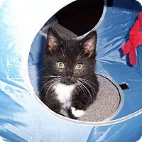 Adopt A Pet :: Enrico-Maine mix born April 15 - Taylor Mill, KY