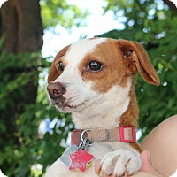 Adopt A Pet :: Moonpie: adoption pending - Astoria, NY