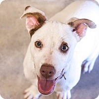 Jack Russell Terrier Mix Dog for adoption in Marble Falls, Texas - TUCKER