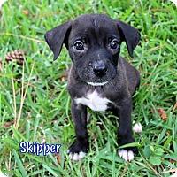 Adopt A Pet :: Skipper - Groton, MA
