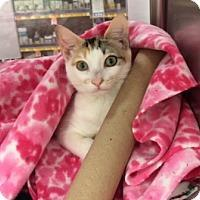 Domestic Shorthair/Domestic Shorthair Mix Cat for adoption in Houston, Texas - SERENA JOY