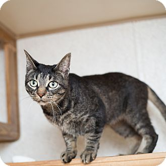 Domestic Shorthair Cat for adoption in Shelton, Washington - Tiffany