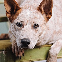 Adopt A Pet :: Thatcher - Portland, OR
