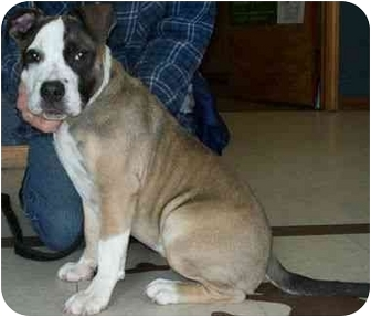 Pit Bull Terrier Dog for adoption in North Judson, Indiana - Angie