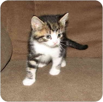 Domestic Shorthair Kitten for adoption in Norwich, New York - Sonny