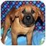 Photo 1 - Shepherd (Unknown Type)/Rhodesian Ridgeback Mix Puppy for adoption in Broomfield, Colorado - Donald Duck