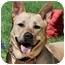 Photo 1 - Australian Cattle Dog/German Shepherd Dog Mix Dog for adoption in Los Angeles, California - Molly