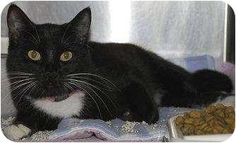 Domestic Shorthair Cat for adoption in Houston, Texas - Danny