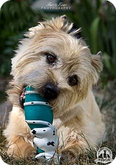 Cairn Terrier Mix Dog for adoption in Warsaw, Indiana - Jasper