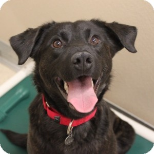 Labrador Retriever Mix Dog for adoption in Naperville, Illinois - Baby 2