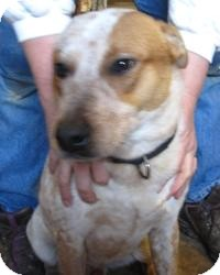 Australian Cattle Dog/Australian Cattle Dog Mix Dog for adoption in Chicago, Illinois - Clyde (ADOPTED!)