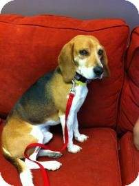 Beagle Mix Dog for adoption in Phoenix, Arizona - Tater