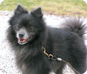 Pomeranian Dog for adoption in Indianapolis, Indiana - Ricky