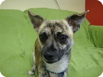 Chihuahua Mix Dog for adoption in Philadelphia, Pennsylvania - Marky