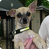 Adopt A Pet :: Chloe - Mt Gretna, PA