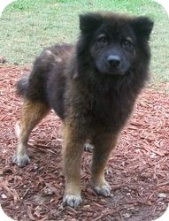 Chow Chow Mix Dog for adoption in Bunnell, Florida - Sym
