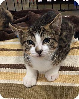 Domestic Shorthair Kitten for adoption in Pittstown, New Jersey - Ian