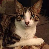 Domestic Shorthair Cat for adoption in Miami, Florida - Ziggy