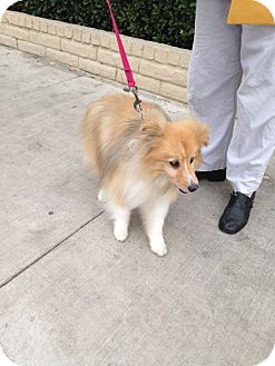 Sheltie, Shetland Sheepdog Dog for adoption in La Habra, California - Suzanne