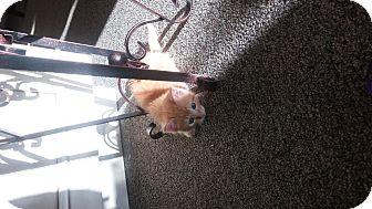 Domestic Shorthair Kitten for adoption in Homewood, Alabama - Pumpkin Spice