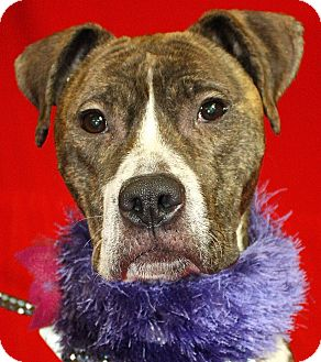 Pit Bull Terrier Mix Dog for adoption in Jackson, Michigan - Socks