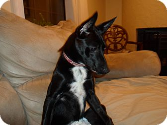 Terrier (Unknown Type, Small) Mix Puppy for adoption in Allentown, Pennsylvania - Velvet SPECIAL NEEDS