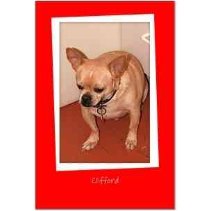 Chihuahua Dog for adoption in McDonough, Georgia - Clifford