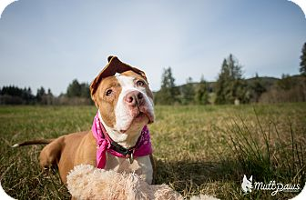 American Pit Bull Terrier/American Staffordshire Terrier Mix Dog for adoption in Portland, Oregon - Shorty