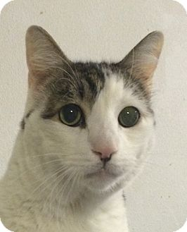 Domestic Shorthair Cat for adoption in Winchester, California - Bigmac
