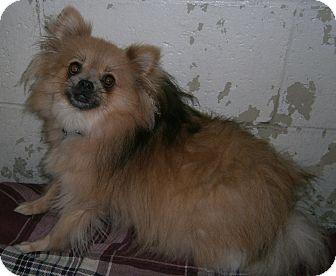 Pomeranian Dog for adoption in Cheboygan, Michigan - Benny