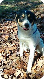 Australian Cattle Dog/Jack Russell Terrier Mix Dog for adoption in Gallatin, Tennessee - Howie