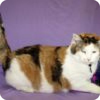 Domestic Shorthair Cat for adoption in Powell, Ohio - Calista
