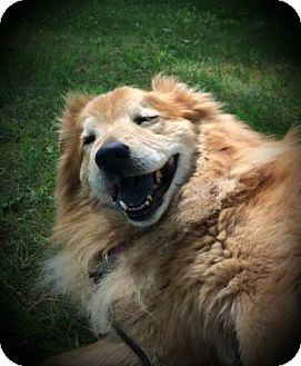 Golden Retriever/Chow Chow Mix Dog for adoption in Youngstown, Ohio - Rougee