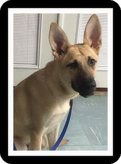 Shepherd (Unknown Type) Mix Puppy for adoption in Winchester, California - PARKER