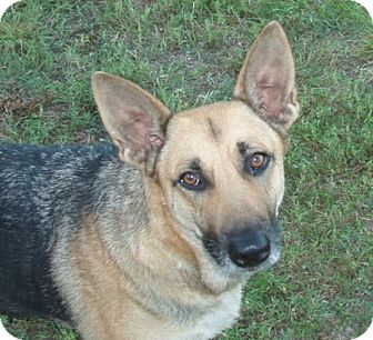 German Shepherd Dog Dog for adoption in Dripping Springs, Texas - Jenny