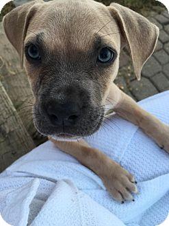 Pug/Beagle Mix Puppy for adoption in Fishkill, New York - MAX
