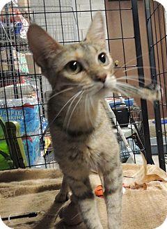 Domestic Shorthair Cat for adoption in Sullivan, Missouri - Clove