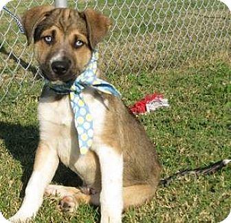 Husky/German Shepherd Dog Mix Puppy for adoption in Oswego, Illinois - I'M ADOPTED Barley