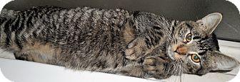 Domestic Shorthair Kitten for adoption in brewerton, New York - Pidge