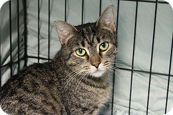 Domestic Shorthair Cat for adoption in Warwick, Rhode Island - Malibu