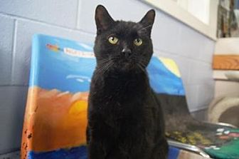 Domestic Shorthair Cat for adoption in New Milford, Connecticut - Oliver