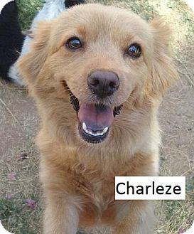 Pomeranian Mix Dog for adoption in Gilbert, Arizona - Charleze