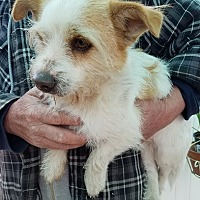 Adopt A Pet :: Sirius-ADOPTION PENDING - Apple Valley, CA