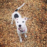 Adopt A Pet :: Snowy - Seattle, WA